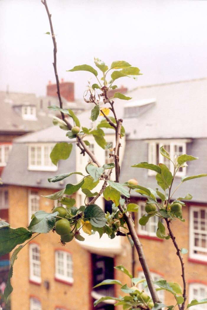 Apple Tree (J), 2004